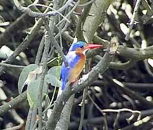 Funzi Kingfisher